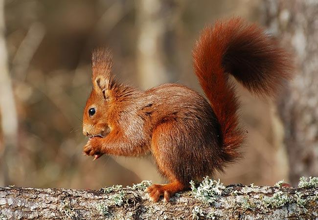 animal omnivoro ardilla roja