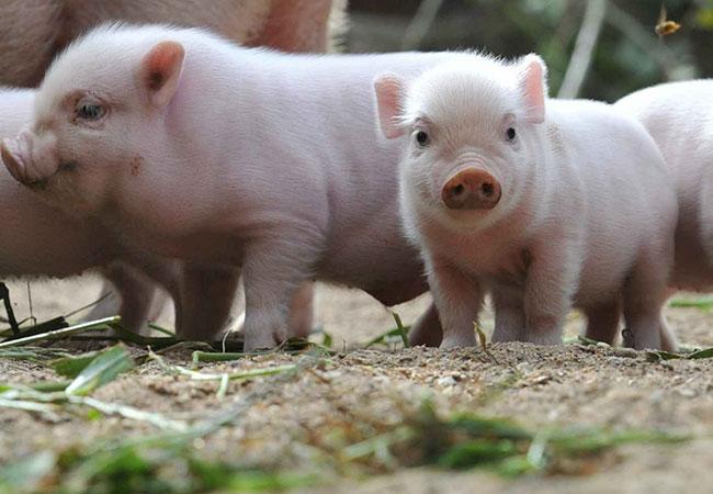 animal omnivoro cerdo