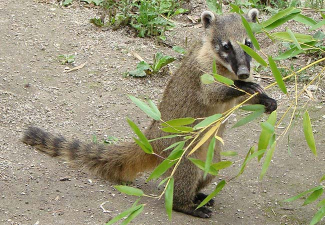 animal omnivoro coati