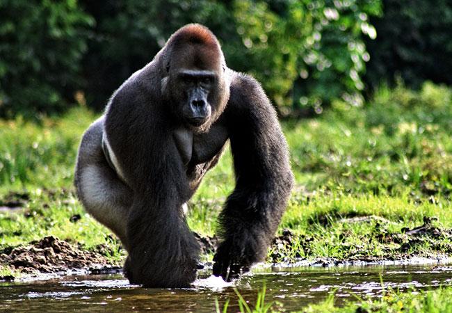 animal omnivoro gorila
