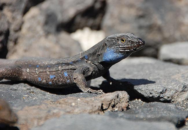 animal omnivoro lagarto tizon