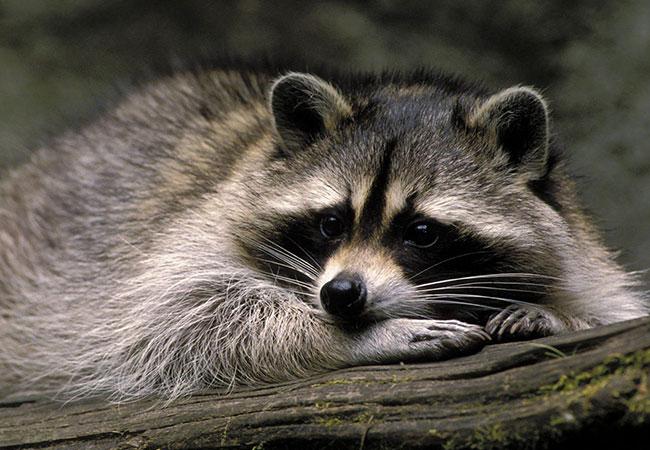 animal omnivoro mapache