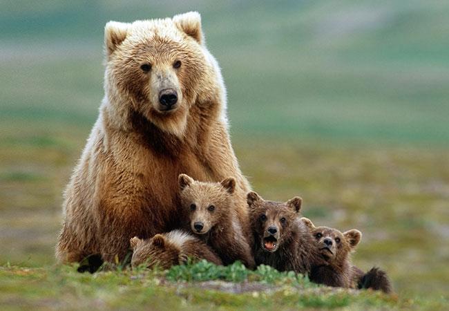animal omnivoro oso pardo
