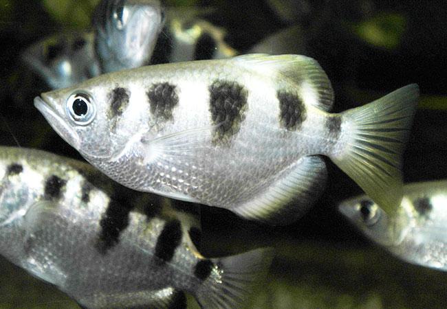 animal omnivoro pez arquero
