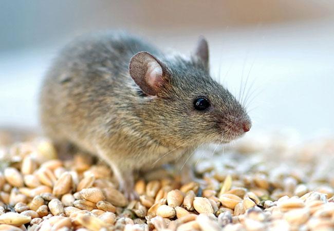 animal omnivoro raton