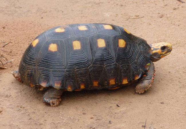 animal omnivoro tortuga carbonaria