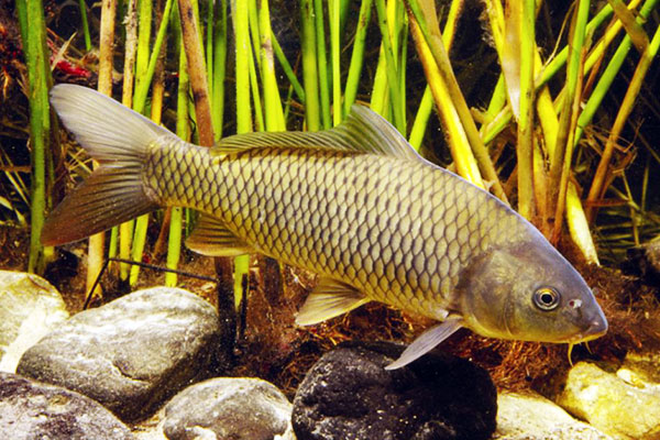 Peces omn voros animales omn voros for Carpa europea