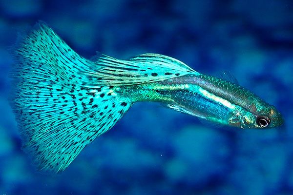 peces omnivoros