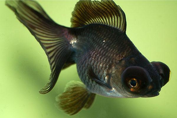 Peces omn voros animales omn voros for Peces para acuarios pequenos