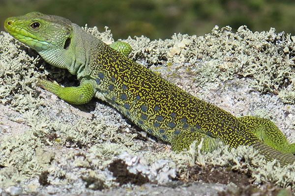 reptiles omnivoros