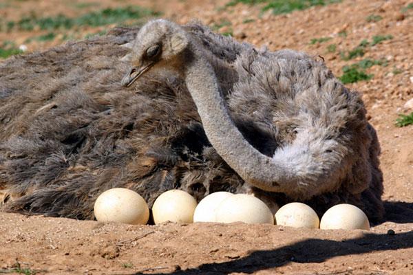 avestruz con sus huevos