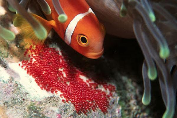 pez payaso huevas
