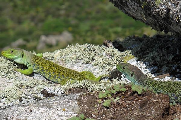 lagartos ocelados