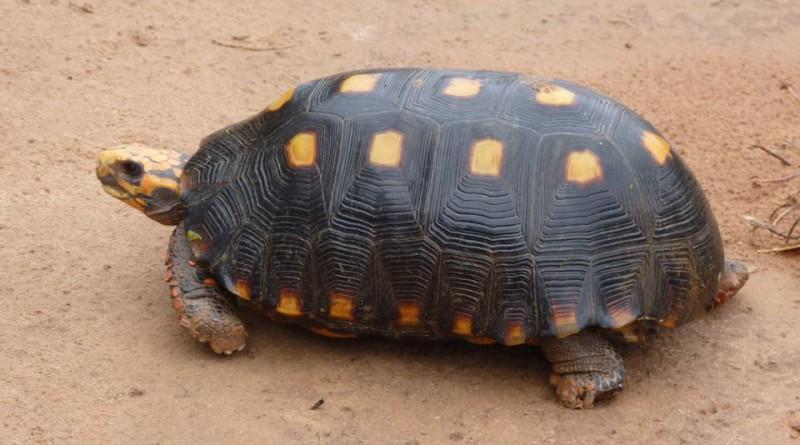 tortuga carbonaria