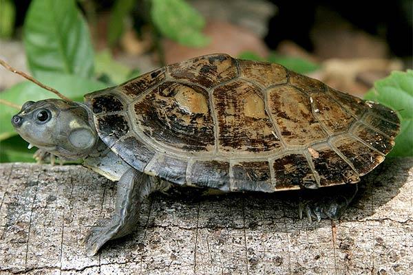 reptiles omnivoros tortuga cupiso