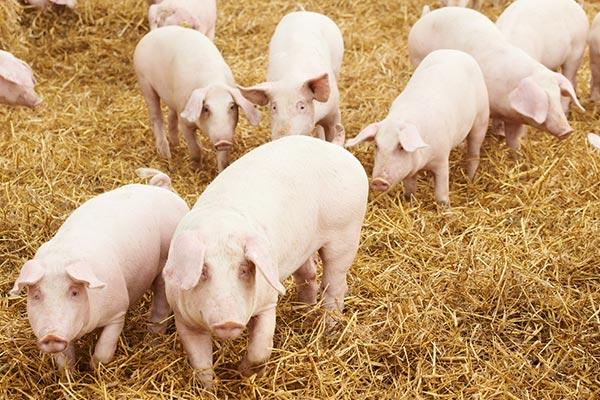 cerdos animales omnivoros