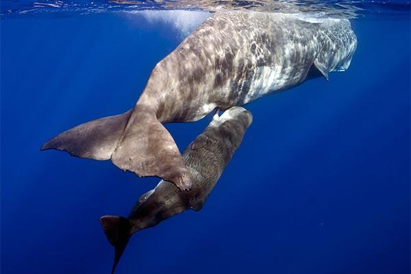 animales viviparos ballenas