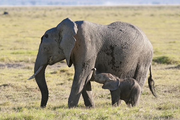 animales viviparos elefantes