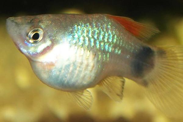 animales viviparos peces
