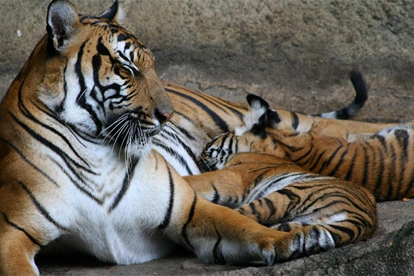 animales viviparos tigre