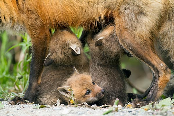 animales viviparos zorros