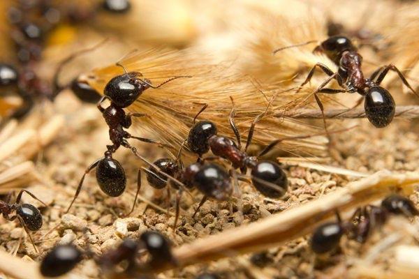 insectos omnivoros hormigas