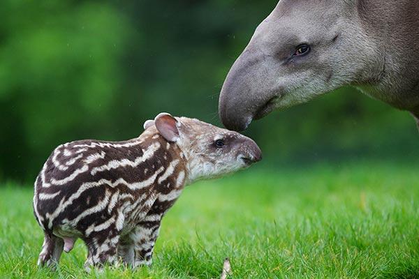 Tapir Animal Frugívoro
