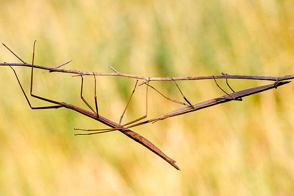 insecto palo Animal herbivoro