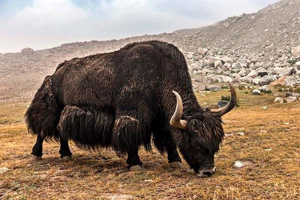 herbivoro rumiante yak