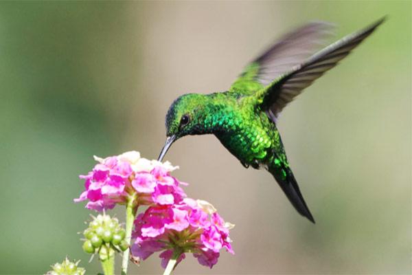 colibri animal herbivoro