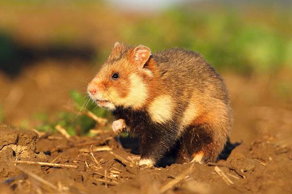 hamster salvaje que comen