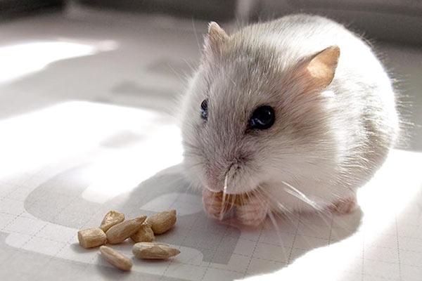 que comen los hamsters domesticos