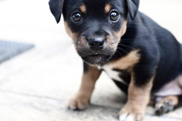 que comen los perros cachorros