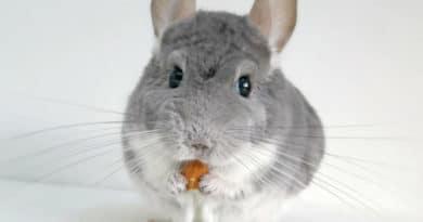 chinchilla que comen los roedores