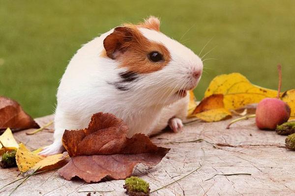 cobaya que comen los roedores