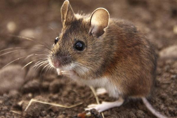 ratones que comen los roedores