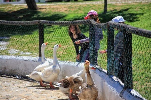 Patos en una granja escuela