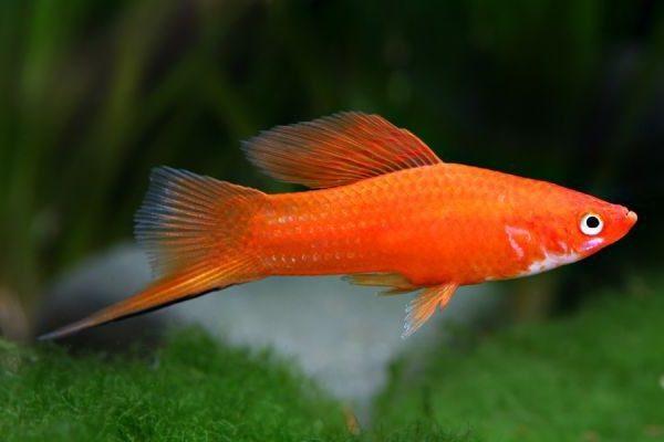 pez cola de espada