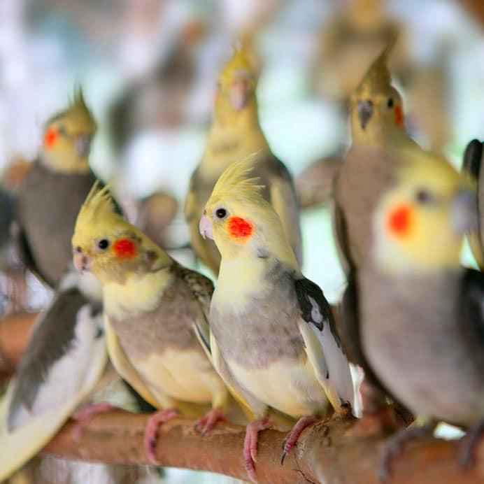 grupo de cacatúas ninfa