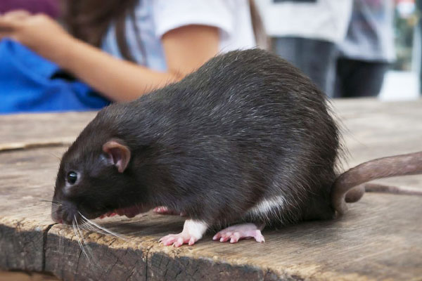 ratas enfermedades
