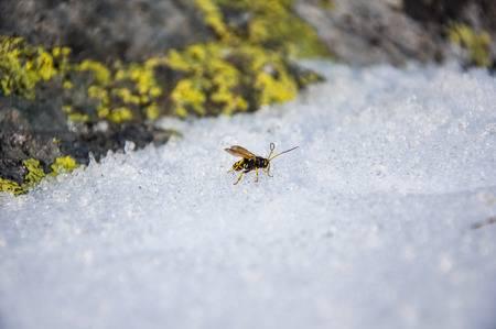 avispa durante el invierno