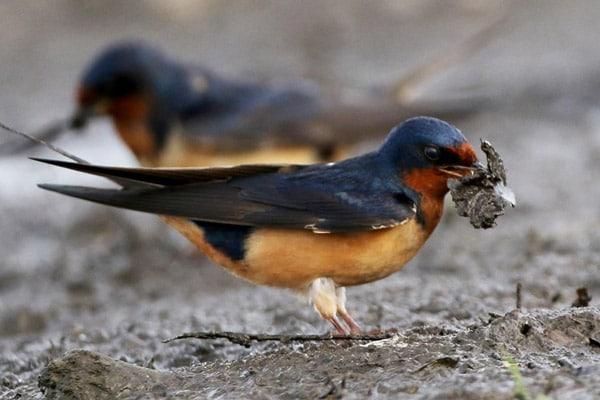 la golondrina es un ave insectívora.